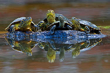 Three European pond turtles (Emys orbicularis) and a Balkan terrapin (Mauremys rivulata) on a rock surrounded by water, Butrint, Albania, June 2009 WWE OUTDOOR EXHIBITION NOT AVAILABLE FOR GREETING CA...  -  WWE/ Geidemark/ npl