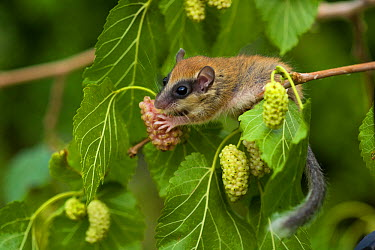 Forest dormouse (Dryomys nitedula) feeding on Mulberries, Bulgaria, June 2008 BOOK and WWE OUTDOOR EXHIBITION NOT AVAILABLE FOR GREETING CARDS OR CALENDARS Wild Wonders kids book  -  WWE/ Nill/ npl