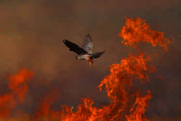 Male Red footed falcon (Falco vespertinus) hunting over burning steppe fields, Bagerova Steppe, Kerch Peninsula, Crimea, Ukraine, July 2009 WWE OUTDOOR EXHIBITION NOT AVAILABLE FOR GREETING CARDS OR C...  -  WWE/ Lesniewski/ npl