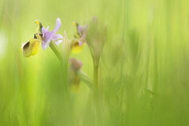 Sawfly orchid, Leaf-wasp carrying ophrys (Ophrys tenthredinifera) flowers, Gargano NP, Gargano Peninsula, Apulia, Italy, April 2008  -  WWE/ Muller/ npl