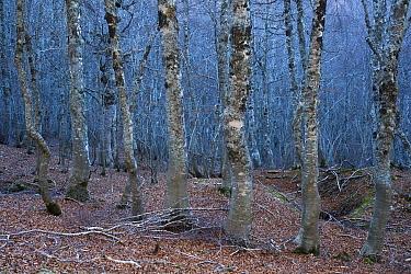 European beech (Fagus sylvatica) trees in forest, Pollino National Park, Basilicata, Italy, November 2008  -  WWE/ Muller/ npl