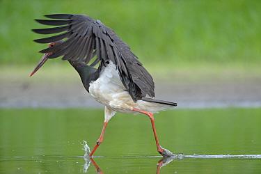 Black stork (Ciconia nigra) just after landing in river, Elbe Biosphere Reserve, Lower Saxony, Germany, August 2008  -  WWE/ Damschen/ npl