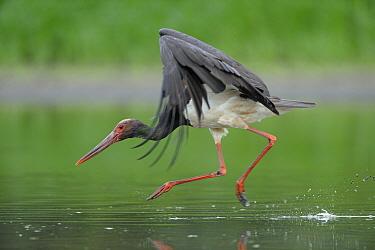 Black stork (Ciconia nigra) landing in water, Elbe Biosphere Reserve, Lower Saxony, Germany, August 2008  -  WWE/ Damschen/ npl