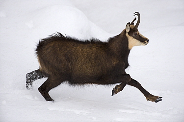 Chamois (Rupicapra rupicapra) running through snow, Gran Paradiso National Park, Italy, November 2008  -  WWE/ E. Haarberg/ npl