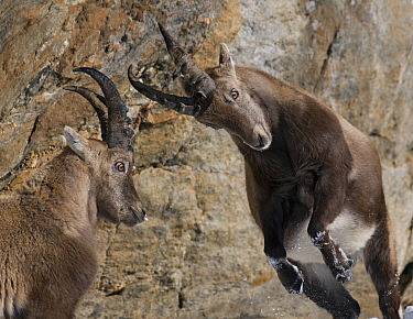 Two Alpine ibex (Capra ibex) fighting, Gran Paradiso National Park, Italy, November 2008  -  WWE/ E. Haarberg/ npl
