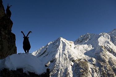 Two Alpine ibex (Capra ibex) silhouetted in alpine landscape, Gran Paradiso National Park, Italy, November 2008  -  WWE/ E. Haarberg/ npl