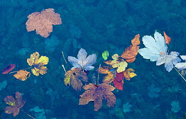 Leaves floating on water surface, Plitvice National Park, Croatia, October 2008  -  WWE/ Biancarelli/ npl