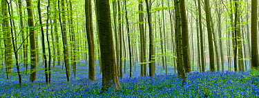 Hallerbos forest with flowering Bluebells(Hyacinthoides non-scripta, Endymion non-scriptum) Belgium, Aril 2009, digital composite  -  WWE/ Biancarelli/ npl