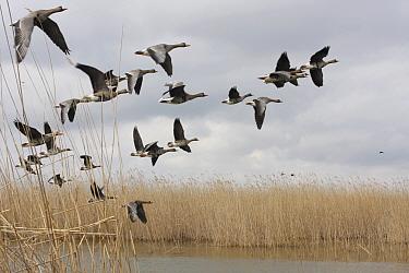 White fronted geese (Anser albifrons) in flight, Durankulak Lake, Bulgaria, February 2009  -  WWE/ Presti/ npl