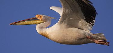 White pelican (Pelecanus onolocratus) in flight, Danube Delta, Romania, May 2009  -  WWE/ Presti/ npl