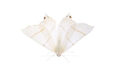 Swallow tail moth (Ourapteryx sambucaria) Fliess, Naturpark Kaunergrat, Tirol, Austria, July 2008  -  WWE/ Benvie/ npl