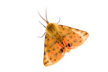 Purple tiger moth (Rhyparia purpurata) Fliess, Naturpark Kaunergrat, Tirol, Austria, July 2008  -  WWE/ Benvie/ npl