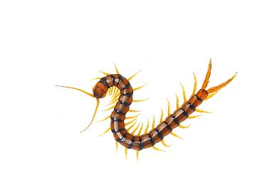 Centipede (Scolopendra cingulata) Huelva, Andalucia, Spain, May 2009  -  WWE/ Benvie/ npl