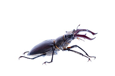 Male Stag beetle (Lucanus cervus) Suffolk, England, June 2009  -  WWE/ Benvie/ npl