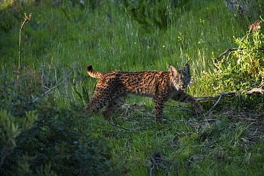 Wild Iberian lynx (Lynx pardinus) female, one year, Sierra de And�jar Natural Park, Mediterranean woodland of Sierra Morena, north east Ja?n Province, Andalusia, Spain, April 2009, Critically endanger...  -  WWE/ Oxford/ npl
