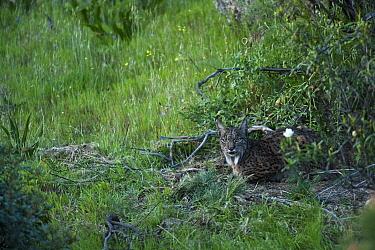 Wild female Iberian lynx (Lynx pardinus) lying down, Sierra de And�jar Natural Park, Mediterranean woodland of Sierra Morena, north east Ja?n Province, Andalusia, Spain, April 2009, Critically endange...  -  WWE/ Oxford/ npl