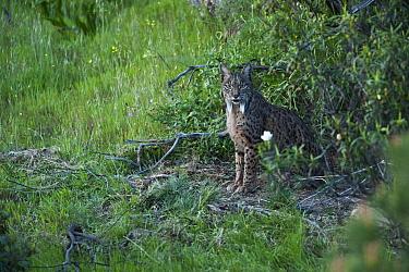 Wild Iberian lynx (Lynx pardinus) female emerging from undergrowth, Sierra de And?jar Natural Park, Mediterranean woodland of Sierra Morena, north east Ja?n Province, Andalusia, Spain, April 2009, Cri...  -  WWE/ Oxford/ npl