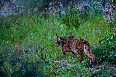 Wild Iberian lynx (Lynx pardinus) female, Sierra de And�jar Natural Park, Mediterranean woodland of Sierra Morena, north east Ja?n Province, Andalusia, Spain, April 2009, Critically endangered  -  WWE/ Oxford/ npl
