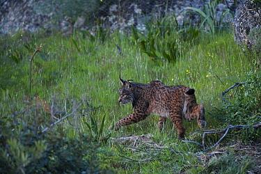 Wild Iberian lynx (Lynx pardinus) female walking, Sierra de And�jar Natural Park, Mediterranean woodland of Sierra Morena, north east Ja?n Province, Andalusia, Spain, April 2009, Critically endangered  -  WWE/ Oxford/ npl