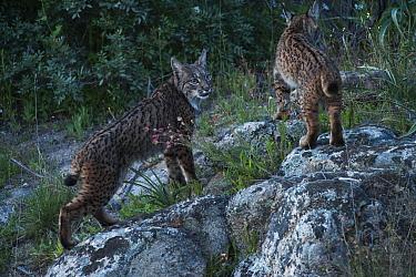 Wild Iberian lynx (Lynx pardinus) female with juvenile female (one year) Sierra de And�jar Natural Park, Mediterranean woodland of Sierra Morena, north east Ja?n Province, Andalusia, Spain, April 2009...  -  WWE/ Oxford/ npl