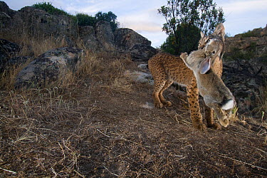 Wild Iberian lynx (Lynx pardinus) male carrying rabbit prey, Sierra de And�jar Natural Park, Mediterranean woodland of Sierra Morena, north east Ja?n Province, Andalusia, Spain, May 2009, Critically e...  -  WWE/ Oxford/ npl