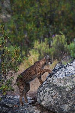 Wild Iberian lynx (Lynx pardinus) male, one year, climbing onto rock, Sierra de And�jar Natural Park, Mediterranean woodland of Sierra Morena, north east Ja?n Province, Andalusia, Spain, April 2009, C...  -  WWE/ Oxford/ npl