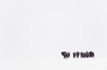 Rear view of European bison (Bison bonasus) in agricultural field, Bialowieza NP, Poland, February 2009  -  WWE/ Unterthiner/ npl