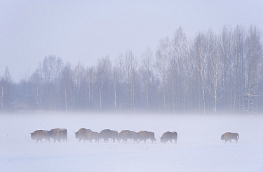 European bison (Bison bonasus) in agricultural field, Bialowieza NP, Poland, February 2009  -  WWE/ Unterthiner/ npl