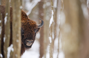 European bison (Bison bonasus) in forest, Bialowieza NP, Poland, February 2009  -  WWE/ Unterthiner/ npl