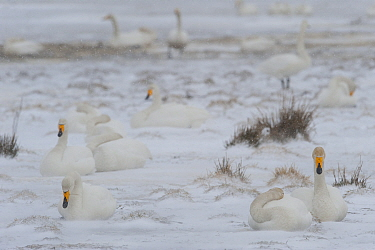 Whooper swans (Cygnus cygnus) sitting in snow, Lake Tysslingen, Sweden, March 2009  -  WWE/ Unterthiner/ npl