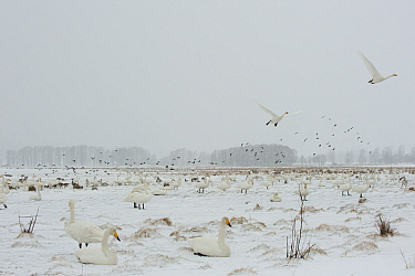Whooper swans (Cygnus cygnus) in snow, Lake Tysslingen, Sweden, March 2009  -  WWE/ Unterthiner/ npl