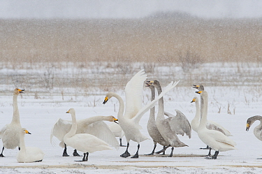 Whooper swans (Cygnus cygnus) adults and juveniles in snow, Lake Tysslingen, Sweden, March 2009  -  WWE/ Unterthiner/ npl