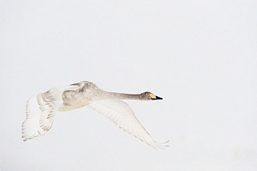 Whooper swan (Cygnus cygnus) immature adult in flight, Lake Tysslingen, Sweden, March 2009  -  WWE/ Unterthiner/ npl