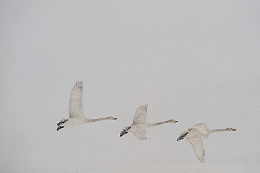 Three Whooper swans (Cygnus cygnus) in flight, Lake Tysslingen, Sweden, March 2009  -  WWE/ Unterthiner/ npl