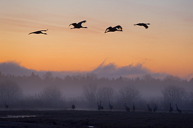 Eurasian, Common cranes (Grus grus) silhouetted at dawn, Lake Hornborga, Sweden, April 2009  -  WWE/ Unterthiner/ npl