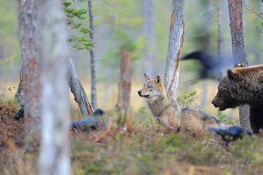 Eurasian brown bear (Ursus arctos) watching Eurasian, Grey wolf (Canis lupus) and Common ravens (Corvus corax) Kuhmo, Finland, September 2008  -  WWE/ Widstrand/ npl