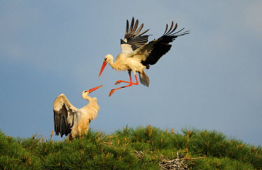 Two White storks (Ciconia ciconia) one landing in tree, La Serena, Extremadura, Spain, March 2009  -  WWE/ Widstrand/ npl