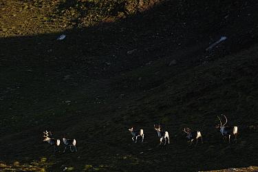 Reindeer (Rangifer tarandus) in shadow of mountain side, Forollhogna National Park, Norway, September 2008  -  WWE/ Munier/ npl