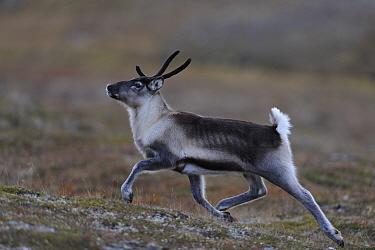 Reindeer (Rangifer tarandus) running, Forollhogna National Park, Norway, September 2008  -  WWE/ Munier/ npl