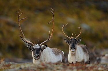 Two Reindeer (Rangifer tarandus) Forollhogna National Park, Norway, September 2008  -  WWE/ Munier/ npl