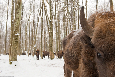 European bison (Bison bonasus) gathering at feeding site, Bialowieza NP, Poland, February 2009  -  WWE/ Unterthiner/ npl