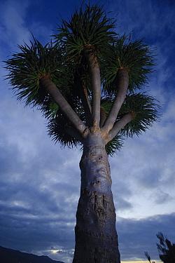 Dragon tree (Dracaena draco) dusk, La Palma, Canary Islands, Spain, March 2009  -  WWE/ Relanzon/ npl