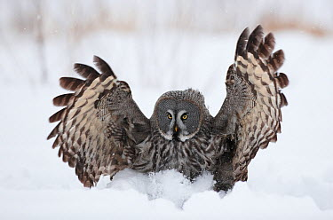 Female Great grey owl (Strix nebulosa) hunting, Oulu, Finland, February 2009  -  WWE/ Zacek/ npl