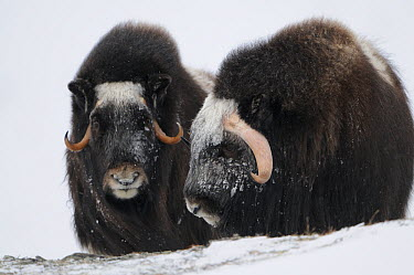 Two Muskox (Ovibos moschatus) in snow, Dovrefjell National Park, Norway, February 2009  -  WWE/ Munier/ npl