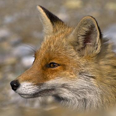 Red fox (Vulpes vulpes) resting, Pollino National Park, Basilicata, Italy, May 2009  -  WWE/ Muller/ npl