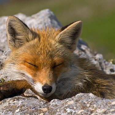 Red fox (Vulpes vulpes) sleeping, Pollino National Park, Basilicata, Italy, May 2009  -  WWE/ Muller/ npl