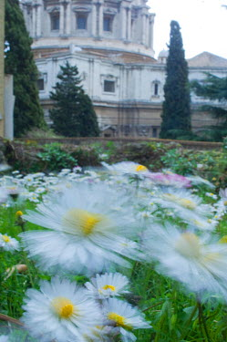 Common daisies (Bellis perennis) flowering in the Vatican garden with St Peter's in the background, Rome, Italy, March 2010  -  WWE/ Geslin/ npl