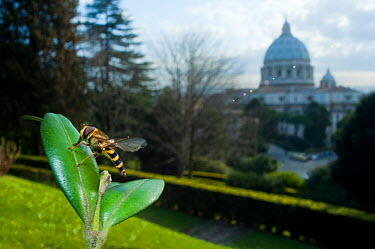 Yellow-legged moustached icon hoverfly (Syrphus ribesii) resting on leaf in the Vatican garden with St Peter's in the background, Rome, Italy, March 2010  -  WWE/ Geslin/ npl