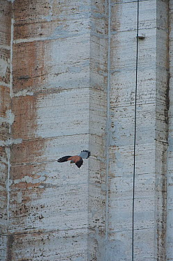 Kestrel (Falco tinninculus) in flight from nest in the wall of a stone building in the Vatican garden, Rome, Italy  -  WWE/ Geslin/ npl