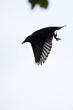 Silhouette of Common starling (Sturnus vulgaris) in flight in the Vatican garden, Rome, Italy, March 2010  -  WWE/ Geslin/ npl